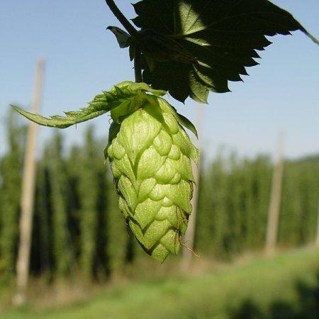 hop_plant