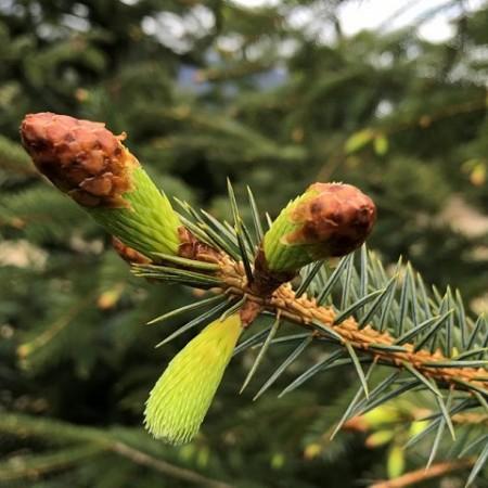Winterlong Spruce Tip Ale Returning This Week