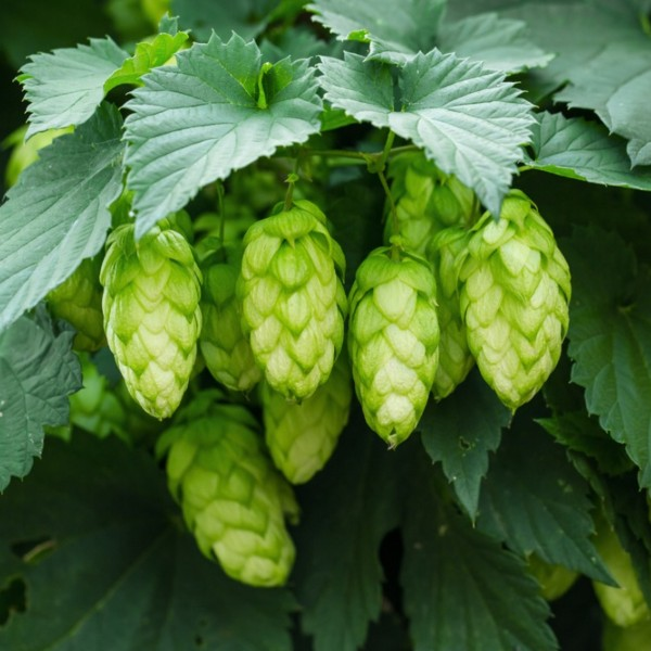 Alberta Hop Producers Association and Craft Beer Commonwealth Presenting Freshtival Celebration of Fresh Hop Beers